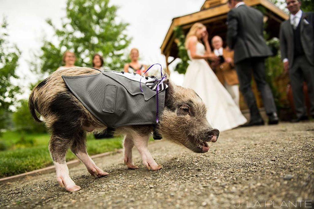J. La Plante Photo | Denver Wedding Photographer | Chatfield Botanic Gardens Wedding | Pig at a Wedding
