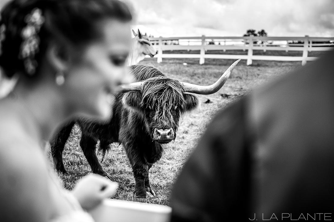 Crooked Willow Farms Wedding | Bride with cows | Colorado Wedding Photographer | J La Plante Photo