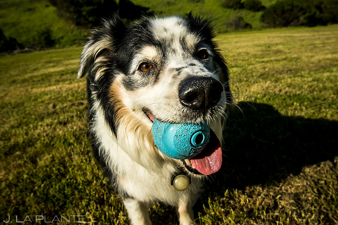 Engagement Shoots with Dogs | San Francisco Engagement | San Francisco Wedding Photographer | J. La Plante Photo